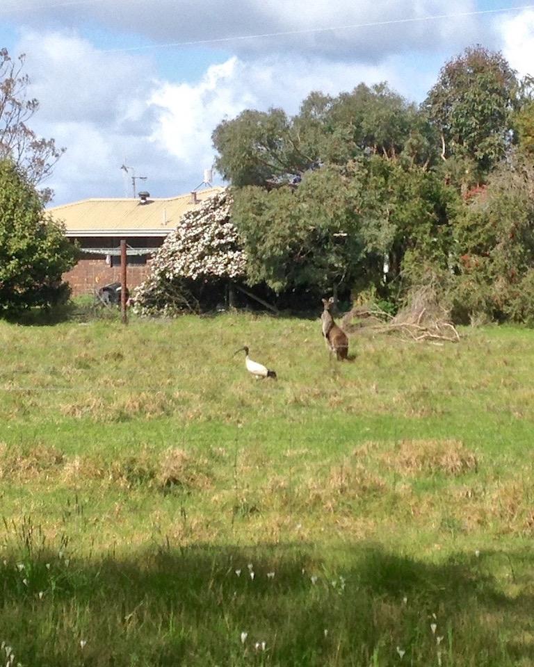 054  Roo & ibis.jpg