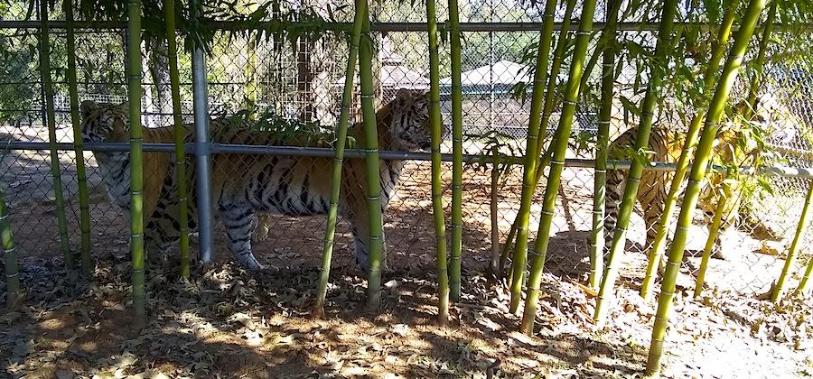 3 tigers.jpg