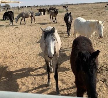 BLM Horses 2.jpg