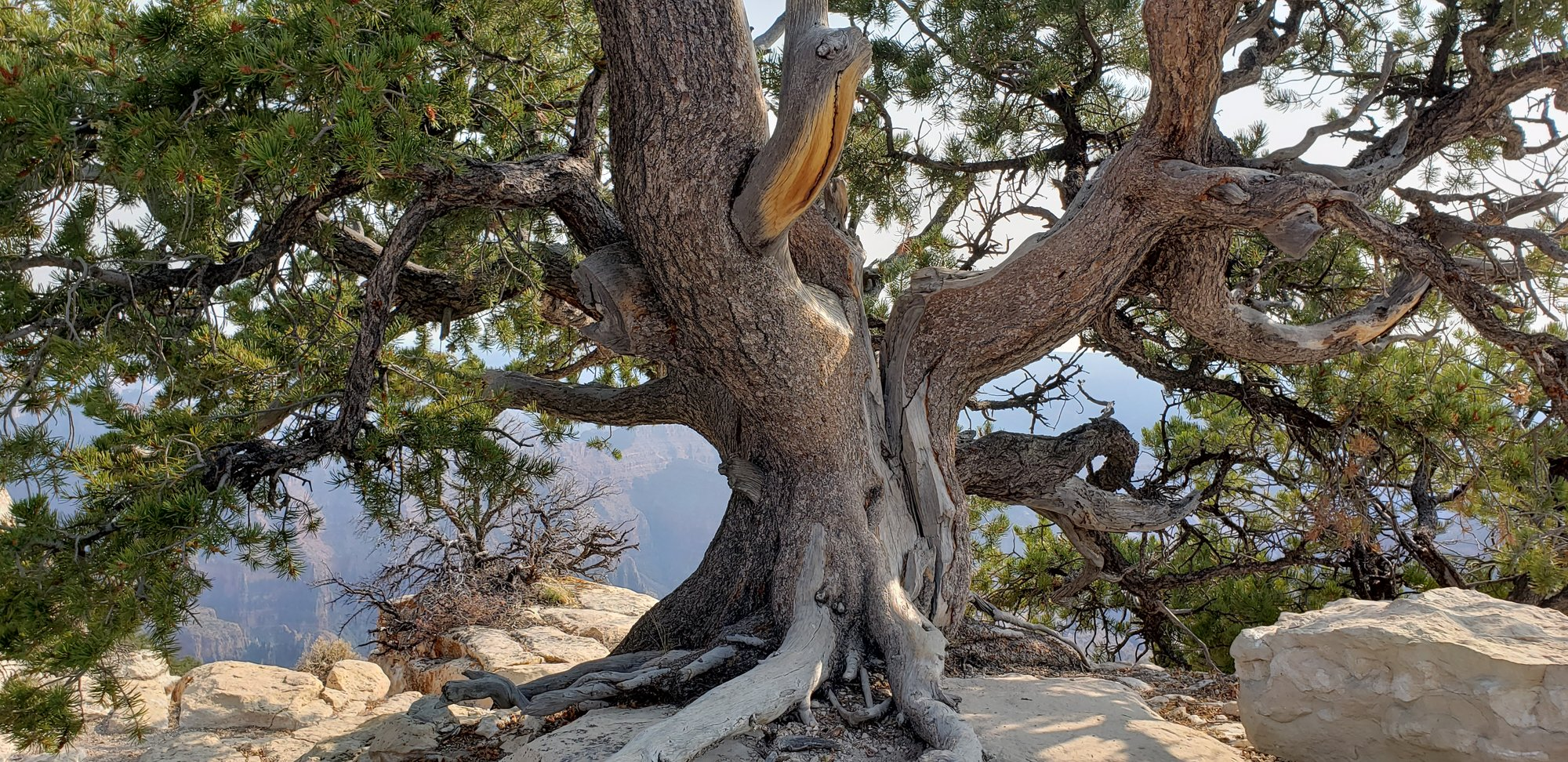 GC old tree.jpg