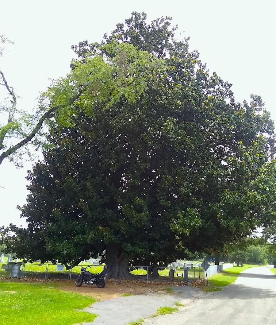 largest magnolia tree in Texas.jpg