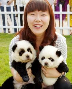 panda-dogs-sitting-in-the-lap-of-a-girl-244x300.jpg