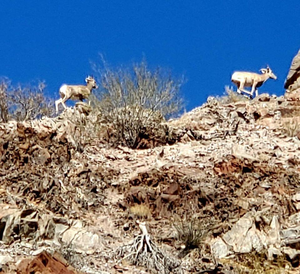 pronghorn sheep.jpg