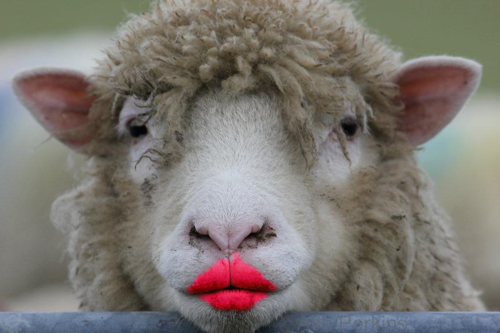 sexy sheep.jpg