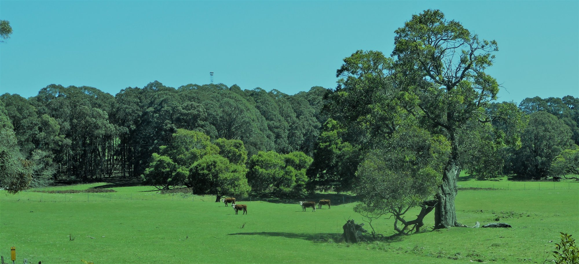 shooters cattle.JPG