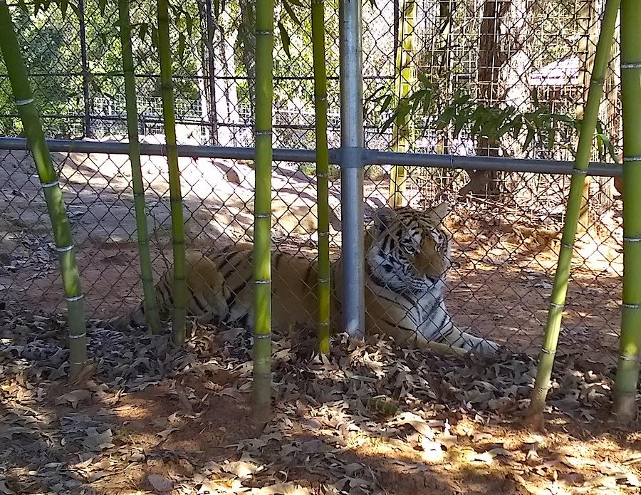 single tiger.jpg