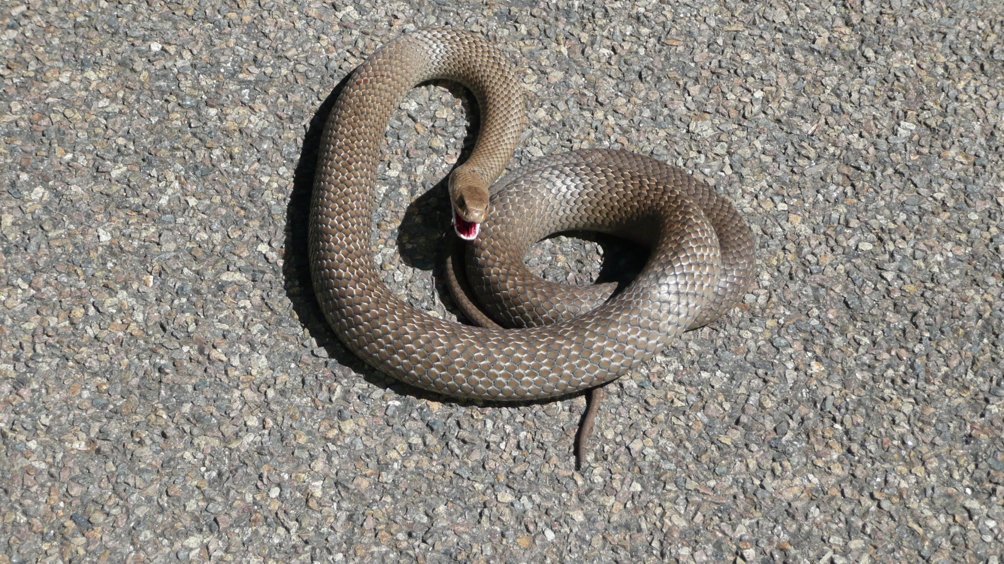 snake Wingecarribee.JPG