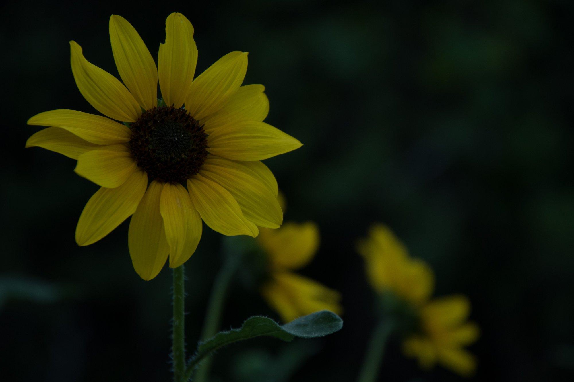 sunflower-3865.jpg