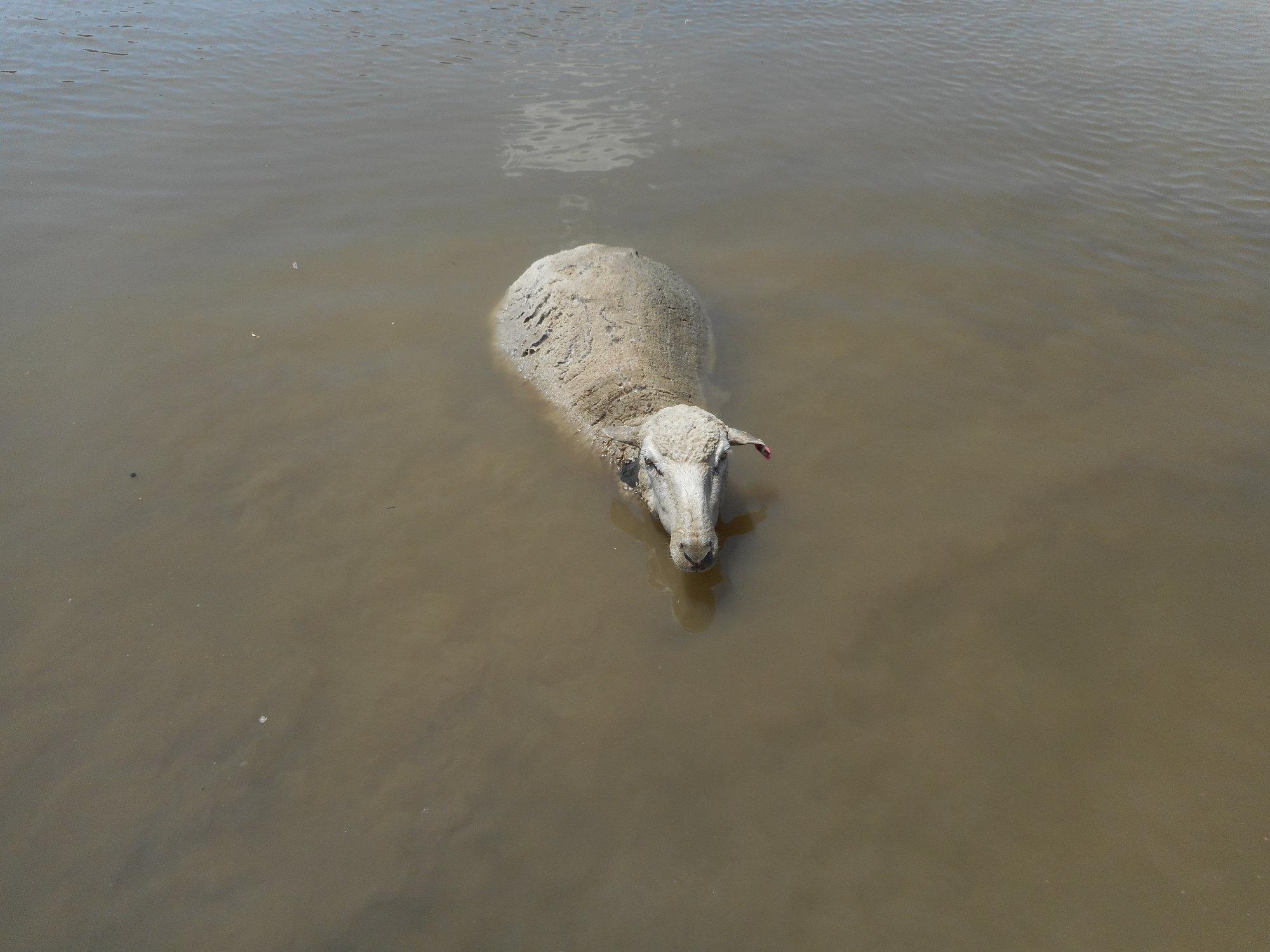 swimmin sheep.JPG