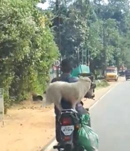 Pet dog on motorcycle