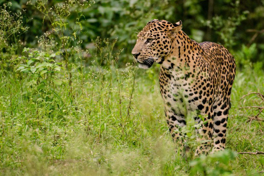 File Photo: Leopard in India Credit: Wikipedia.org